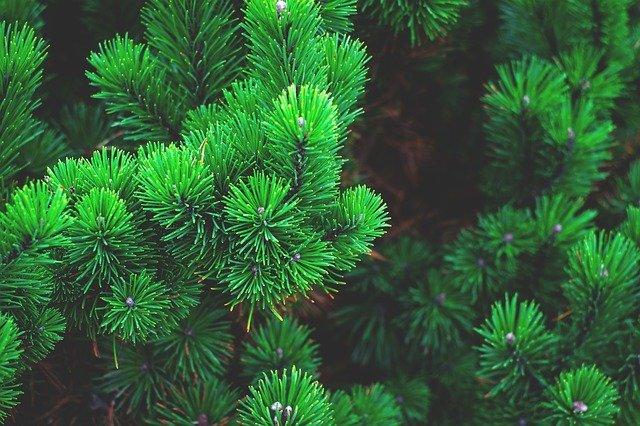 terpène pinène cbd